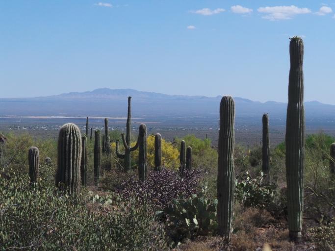 pemandangan umum di Tucson, penuh dengan kaktus
