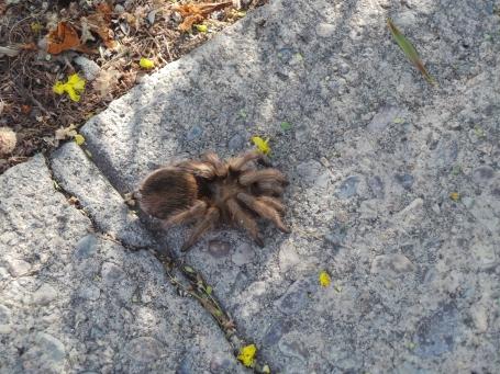 sempat ketemu tarantula juga, lagi jalan-jalan santai