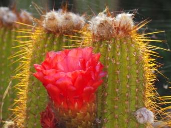 salah satu kaktus yang memiliki bunga